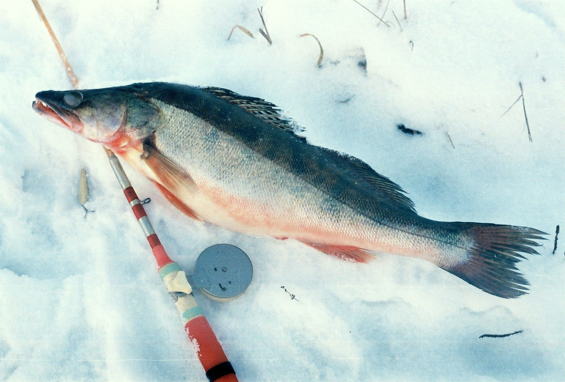 Новогодние приключения на льду, пойманная в зимнем водоёме щука, фото
