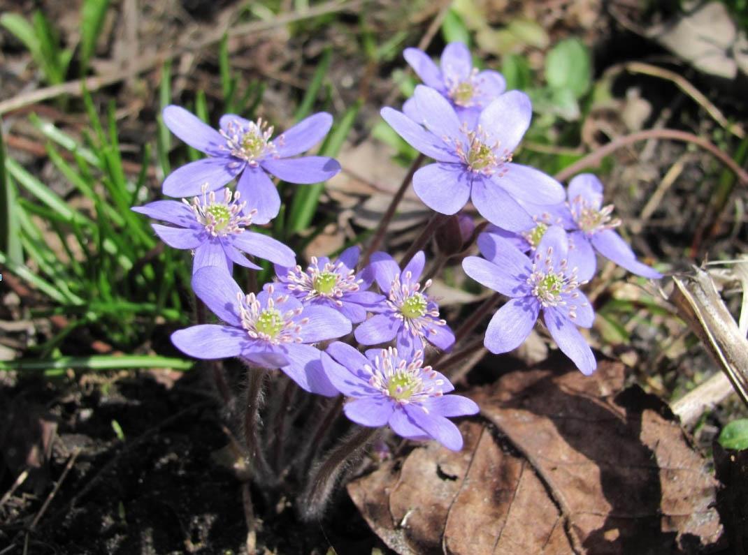 Щука, время нереста с цветением пролесков