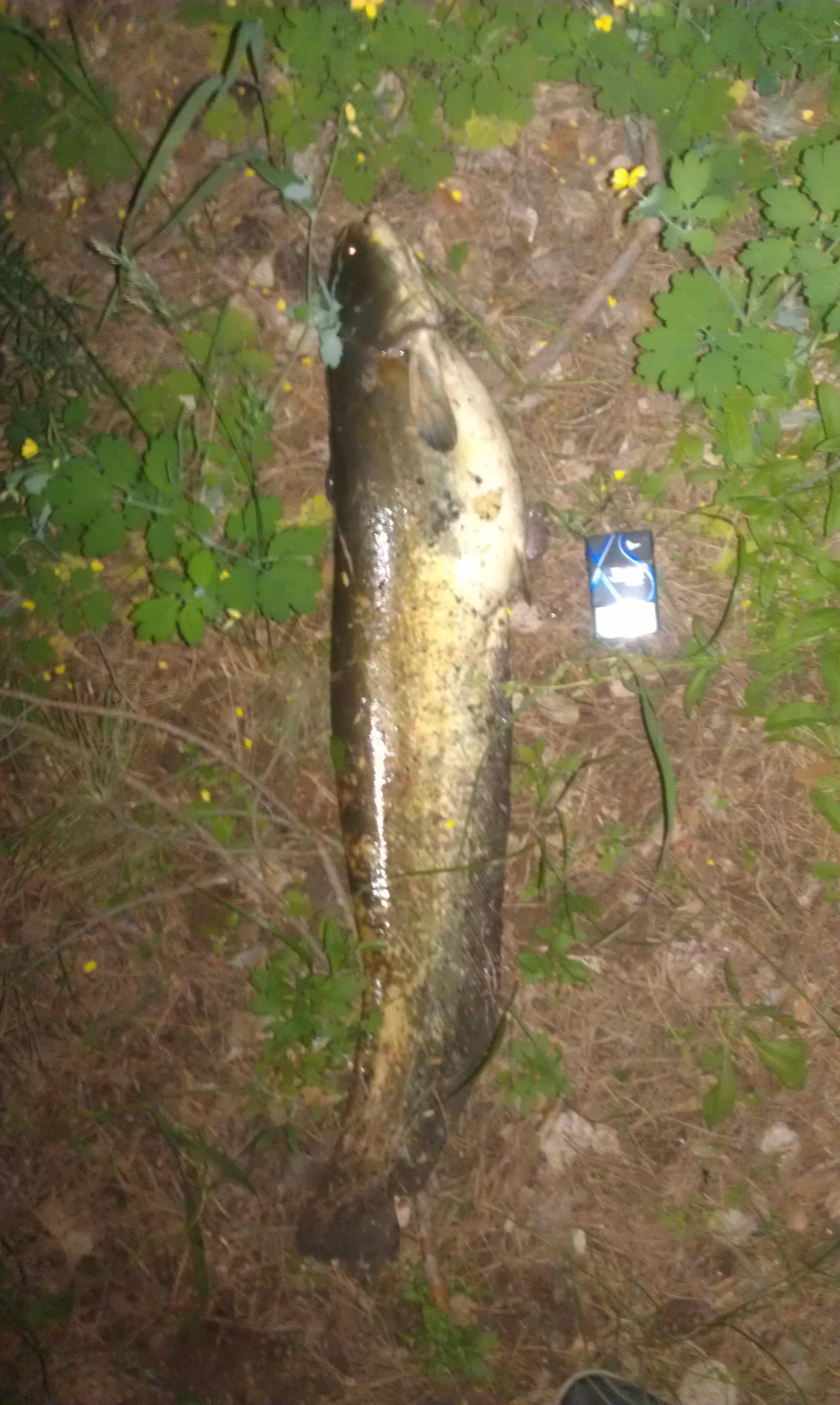 Крупный сом пойманный в реке Дон