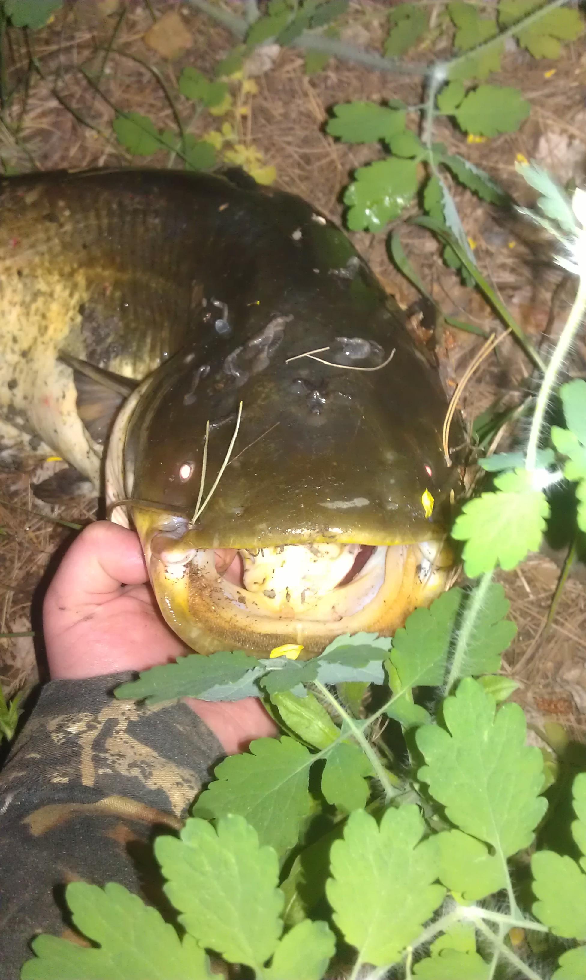 Крупный сом, фото отчет с рыбалки