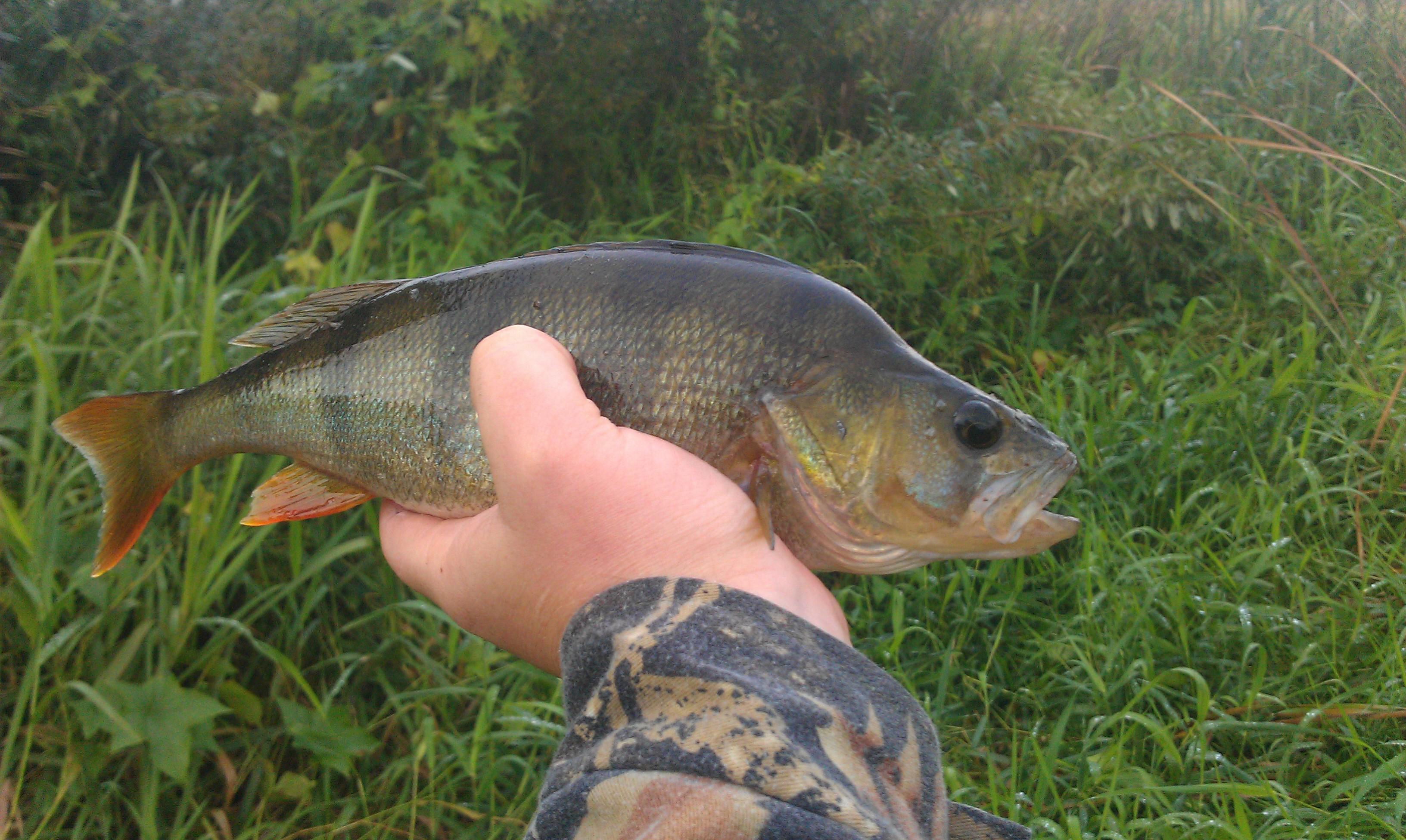 Рыбалка на крупного окуня осенью