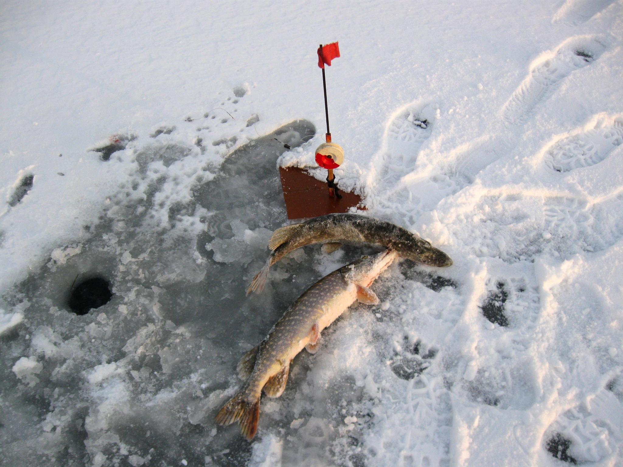 Первый лед - он лучший самый, жерлицы на щуку фото