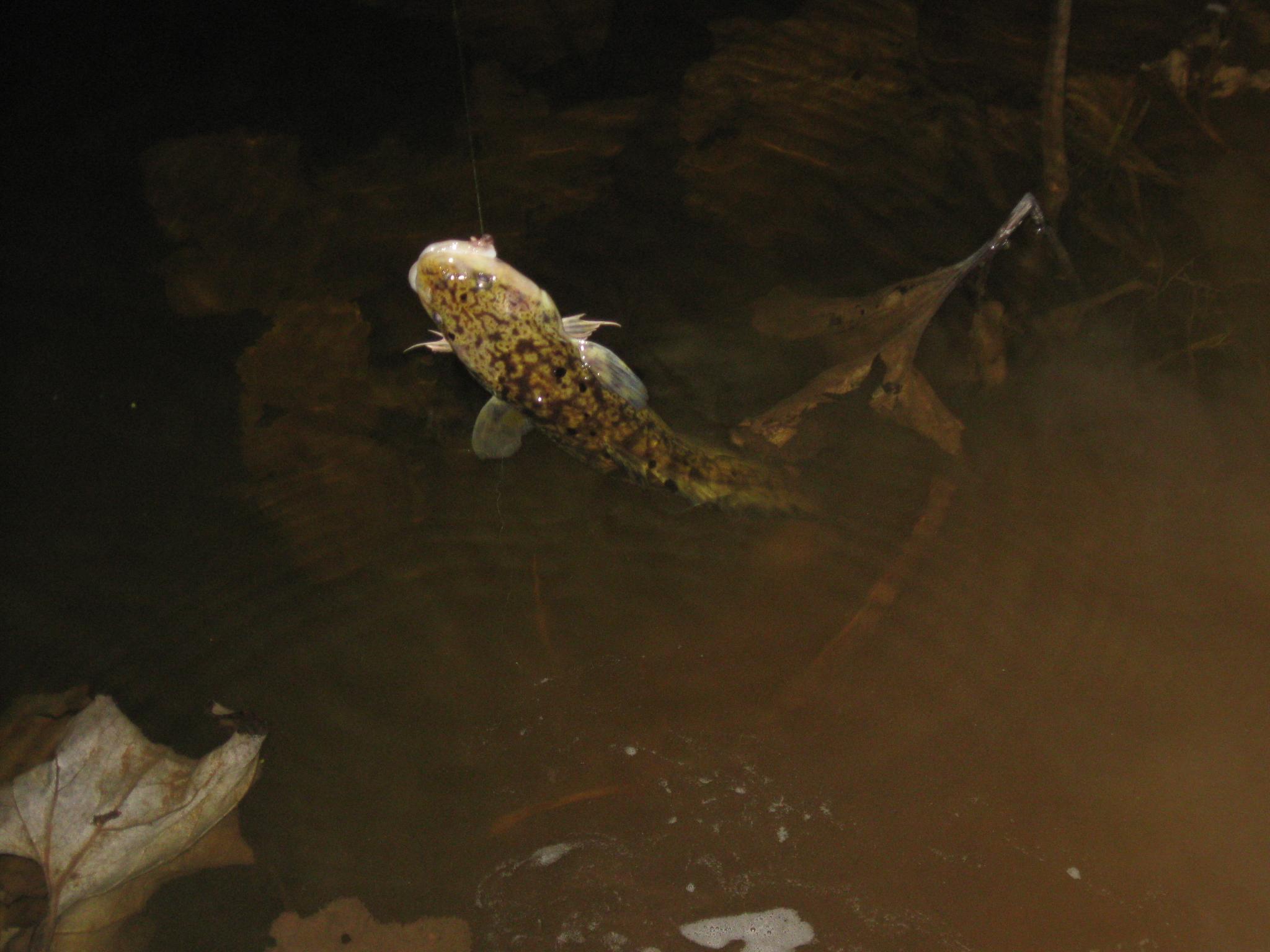 Налимья пора, плавающий налим в воде, качественное фото