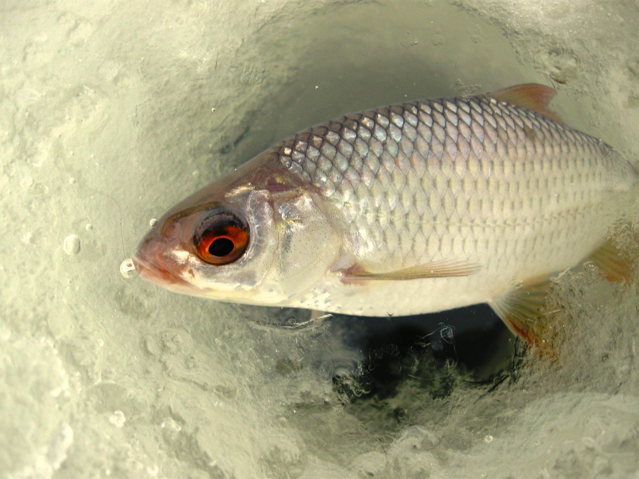 Окунь во льду, ловля рыбы по перволедью